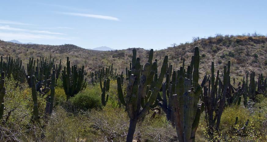 Mexico in the news: Coronavirus, saguaro cacti, corn and insulin
