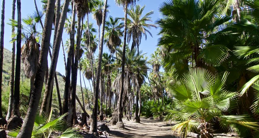 Palms dazzle, creating lush entrance to sandy oasis