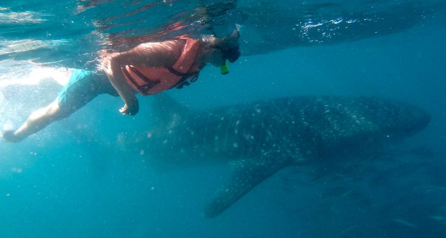 Swimming with whale sharks — the world's largest fish