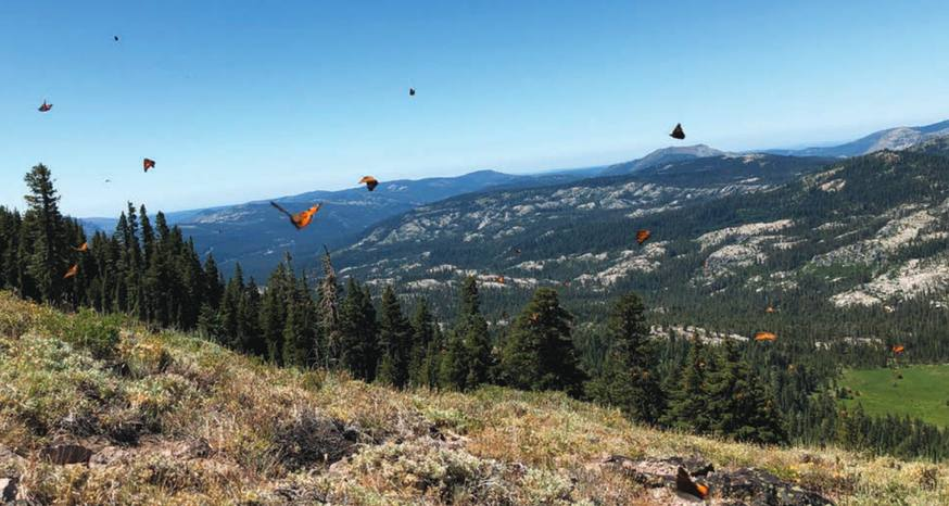 Tortoiseshell butterflies make mass migration to Lake Tahoe