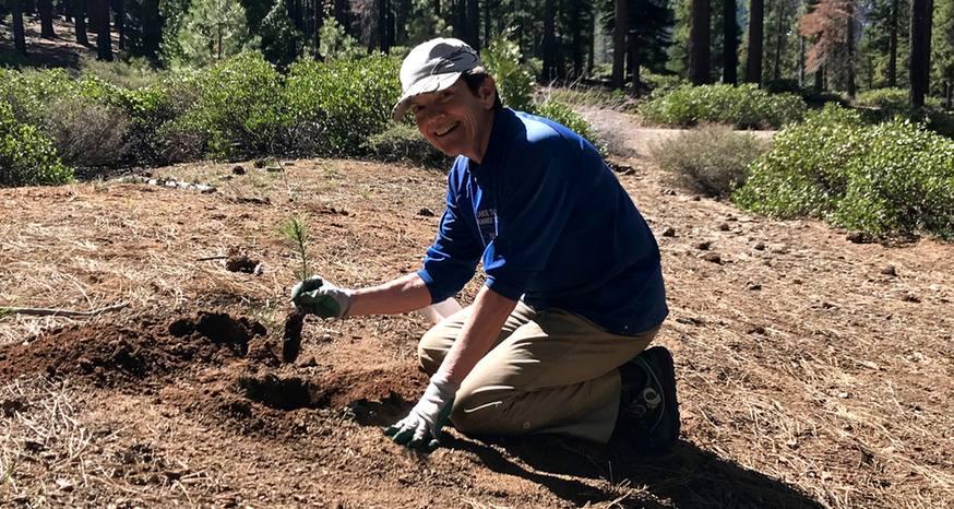 Volunteers help ensure sugar pines repopulate Tahoe forests