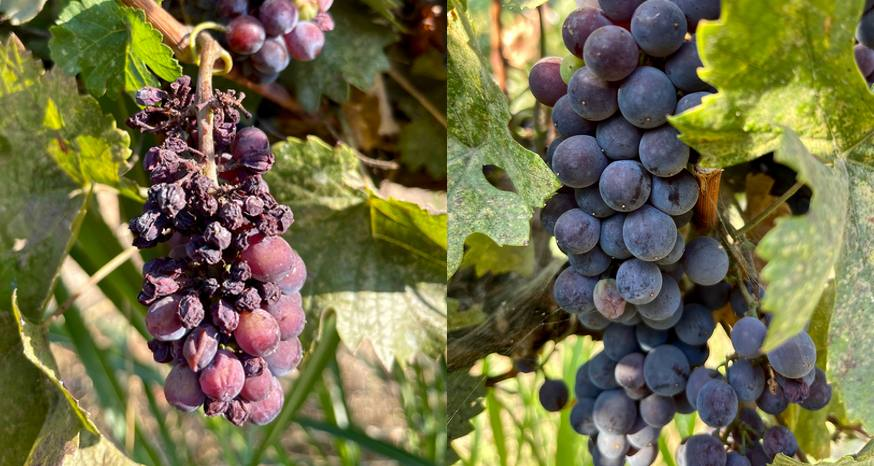 Picking grapes gives new appreciation for what's in a bottle