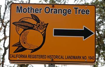 Oldest orange tree in California hails from Mexico
