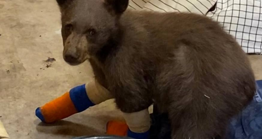 Escaped bear causes LTWC to lose license to care for bruins